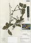Struthanthus aff. orbicularis (Kunth) Blume, Peru, I. M. Sánchez Vega 8431, F