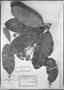 Field Museum photo negatives collection; München specimen of Aspidosperma nobile Müll. Arg., Brazil, J. B. E. Pohl s.n., Isosyntype, M