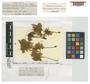 Isothecium menziesii (Hook.) Brid., NEW ZEALAND, D. Lyall s. n.