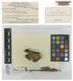 Philonotis hamata E. B. Bartram, PAPUA NEW GUINEA, L. J. Brass 10604