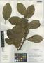 Ficus trigona L. f., Peru, I. M. Sánchez Vega 8345, F