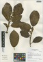 Ficus trigona L. f., Peru, I. M. Sánchez Vega 8940, F
