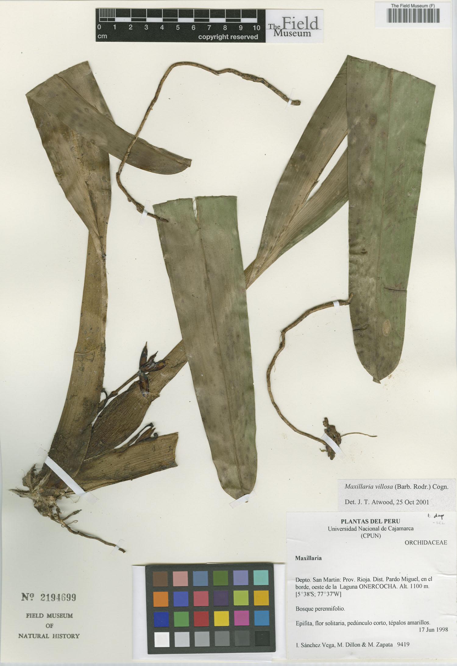 Maxillaria villosa image