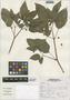 Physalis angulata L., Peru, S. Leiva G. 1920a, F
