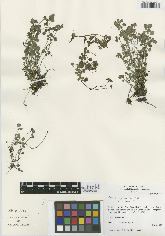 Pilea serpyllacea image