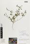 Cristaria molinae image
