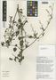 Flora of the Lomas Formations: Boerhavia coccinea Mill., Peru, T. Anderson 7987, F
