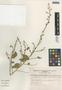 Cryptocarpus pyriformis image