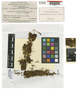 Leptostomum perfectum E. B. Bartram, Dutch New Guinea [Indonesia], L. J. Brass 9617, Type [status unknown], F
