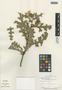 Flora of the Lomas Formations: Argemone mexicana L., Peru, J. Hudson 1034, F