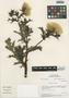 Flora of the Lomas Formations: Argemone mexicana L., Peru, M. O. Dillon 3652, F