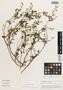 Flora of the Lomas Formations: Sida patuliloba R. E. Fr., Peru, M. O. Dillon 3055, F