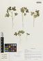 Flora of the Lomas Formations: Sida oligandra K. Schum., Peru, C. L. Burandt 2383, F