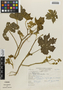 Flora of the Lomas Formations: Sida jatrophoides L'Hér., Peru, N. Angulo 1006, F