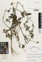 Flora of the Lomas Formations: Sida jatrophoides L'Hér., Peru, M. O. Dillon 4711, F