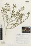 Flora of the Lomas Formations: Sida ciliaris L., Peru, S. Llatas Quiroz 2220, F
