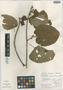 Croton fantzianus F. Seym., Nicaragua, K. C. Budier 6390, Isotype, F