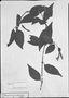 Field Museum photo negatives collection; München specimen of Beloperone involucrata Nees, BRAZIL, C. F. P. Martius, Type [status unknown], M
