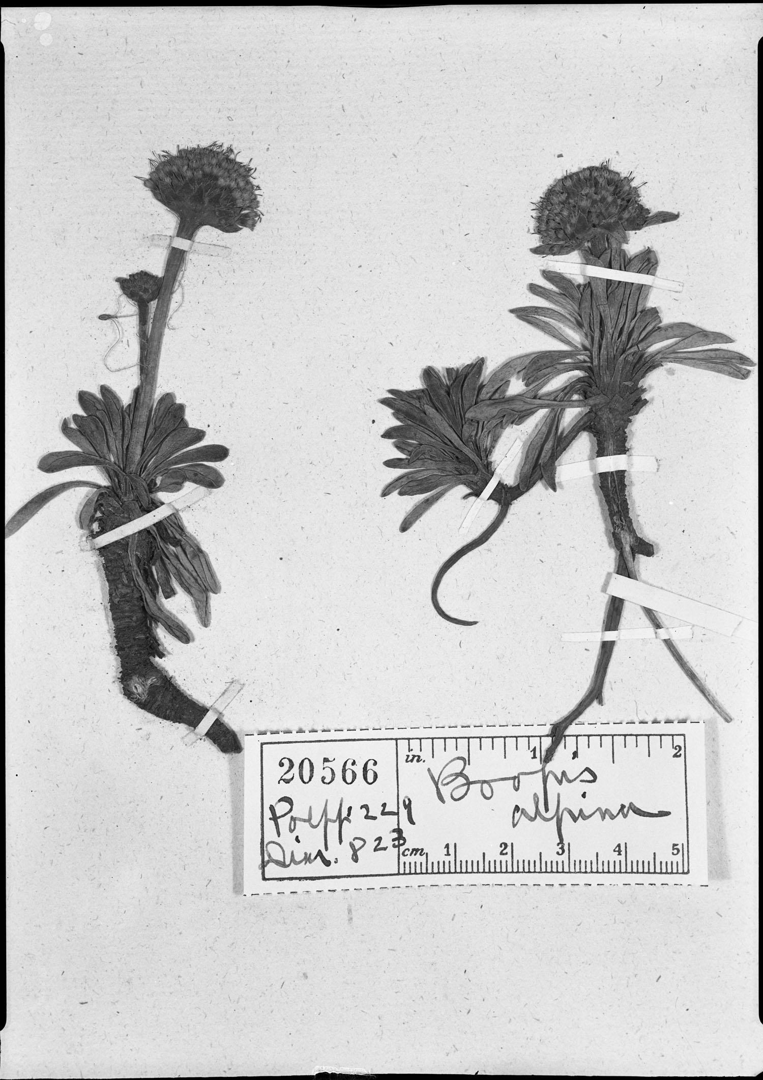 Gamocarpha alpina image