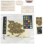 Sphagnum rufescens var. parvulum f. congestum Pilous, CZECH REPUBLIC, Z. Pilous 159, Type [status unknown], F