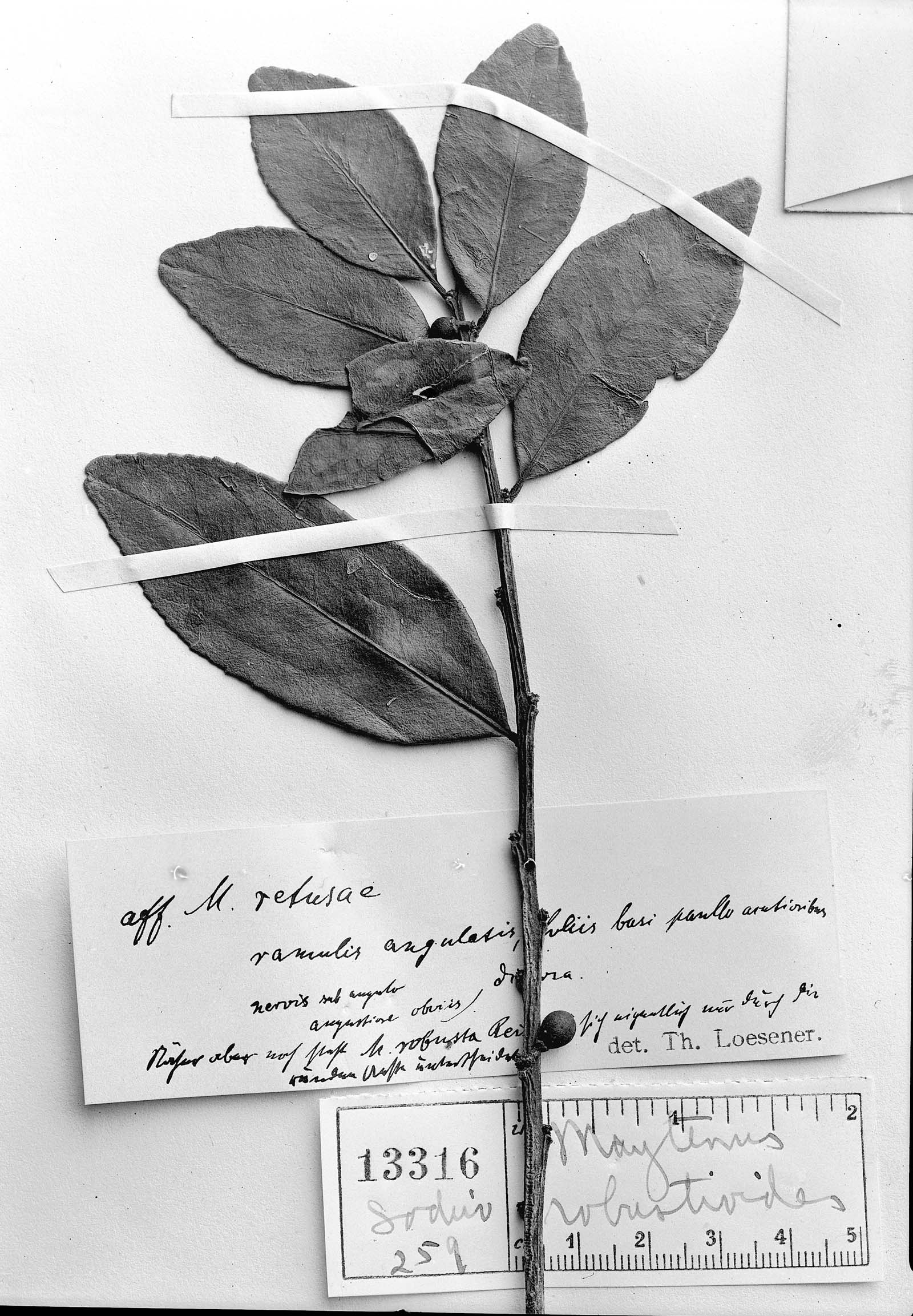 Maytenus robustoides image