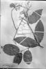 Cuervea kappleriana image