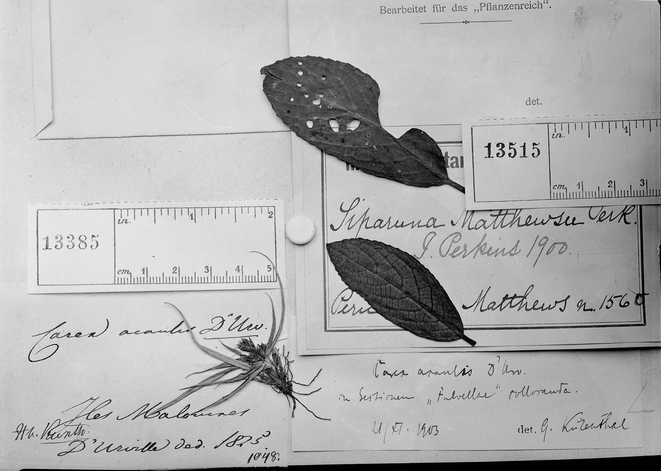 Carex acaulis image