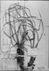 Carex catamarcensis image
