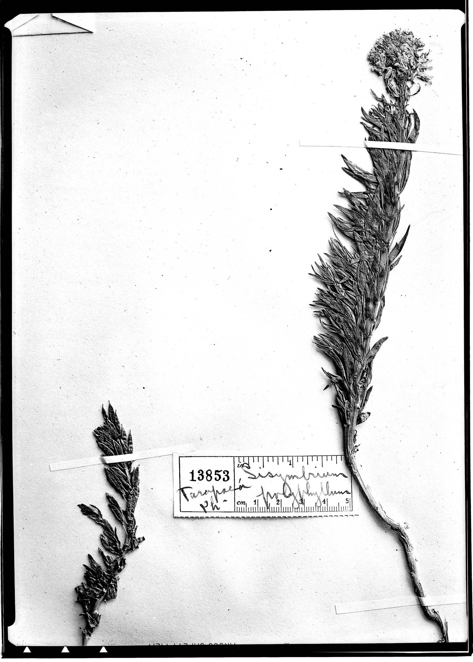 Sisymbrium polyphyllum image