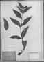 Blainvillea dichotoma image