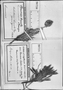 Perezia pilifera image