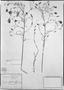 Porophyllum lanceolatum image