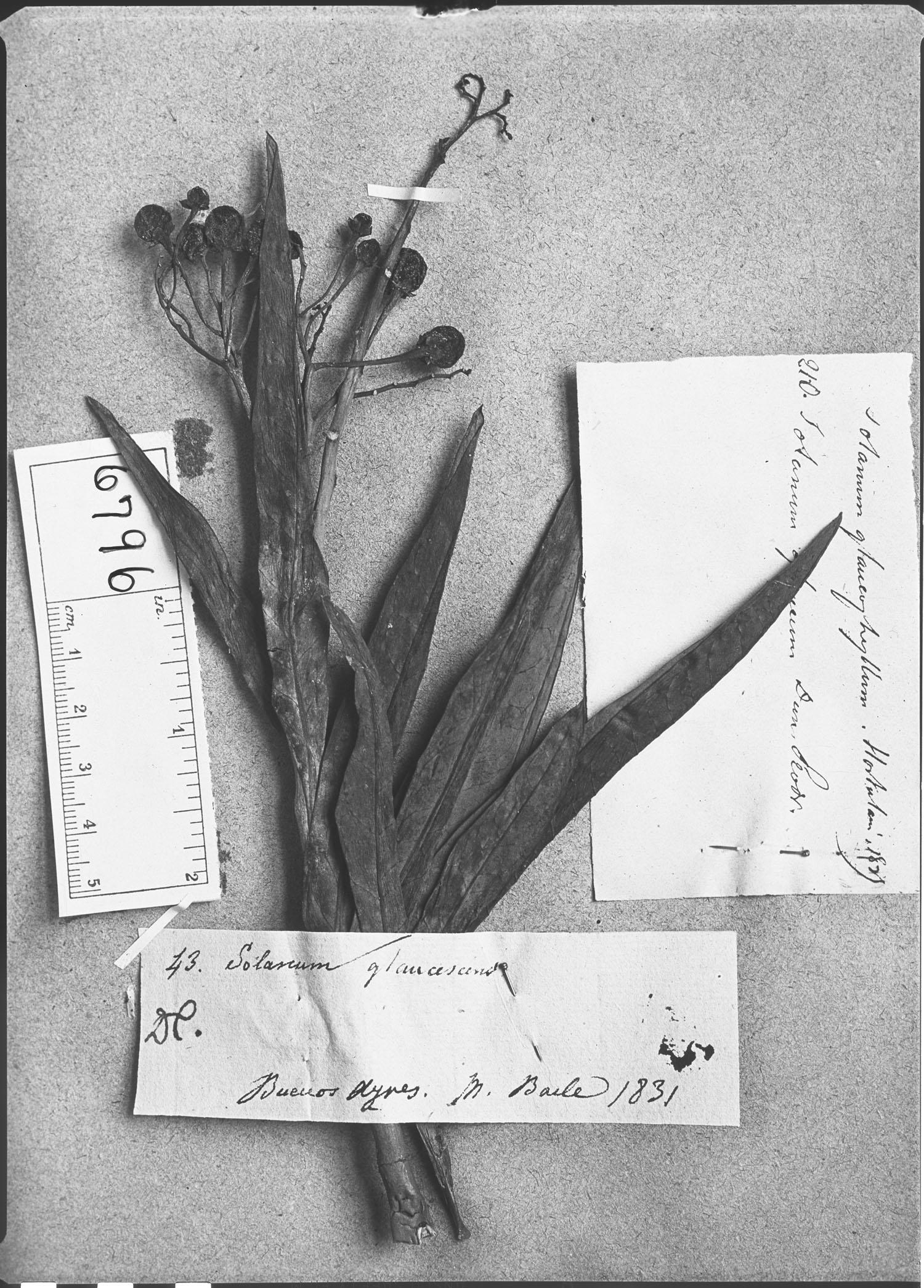 Solanum glaucum image