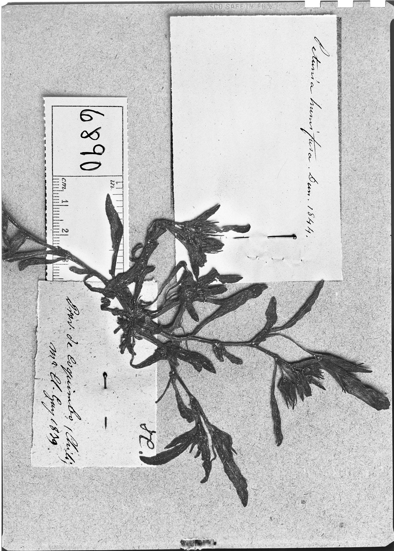 Petunia humifusa image