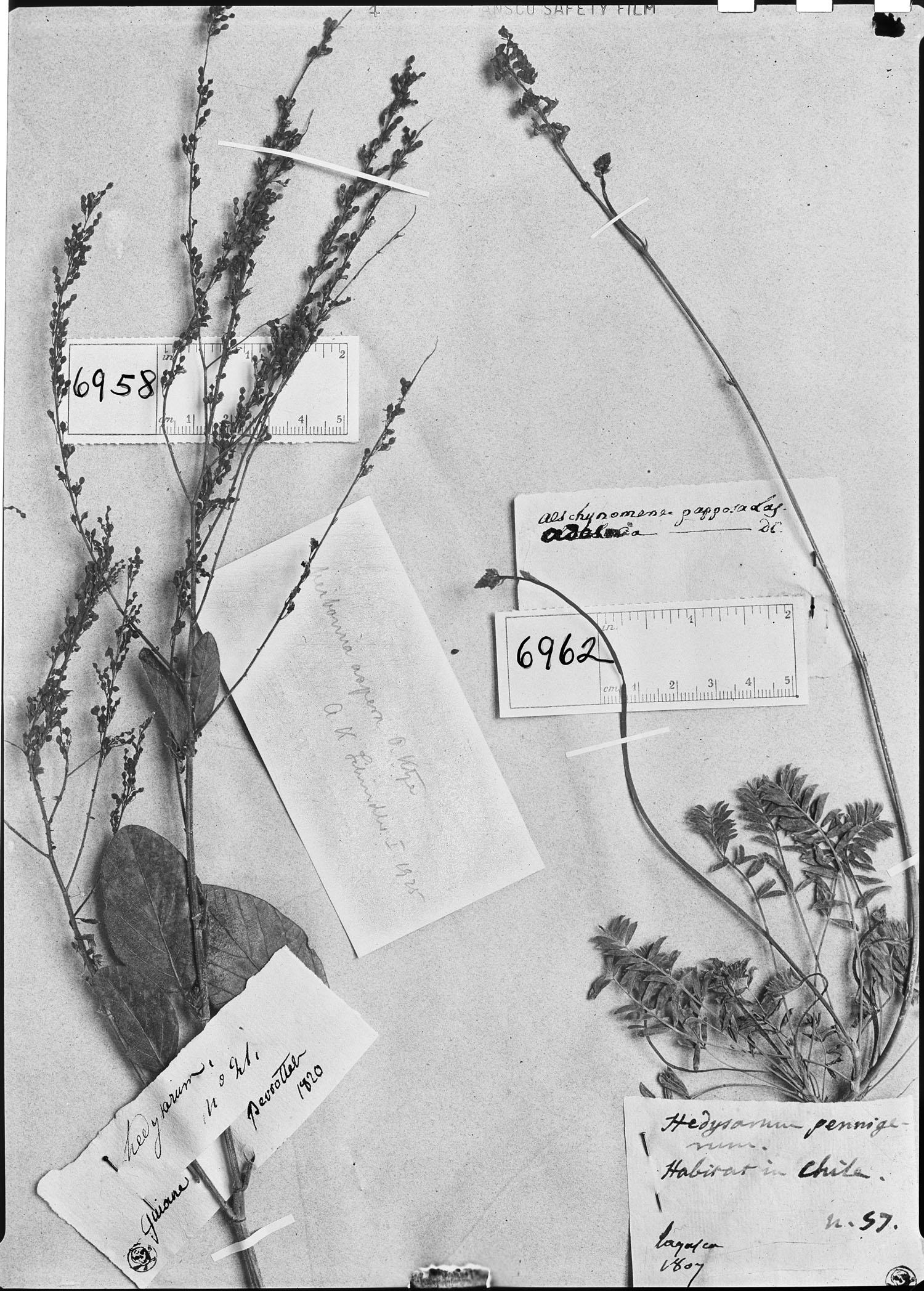 Adesmia papposa image