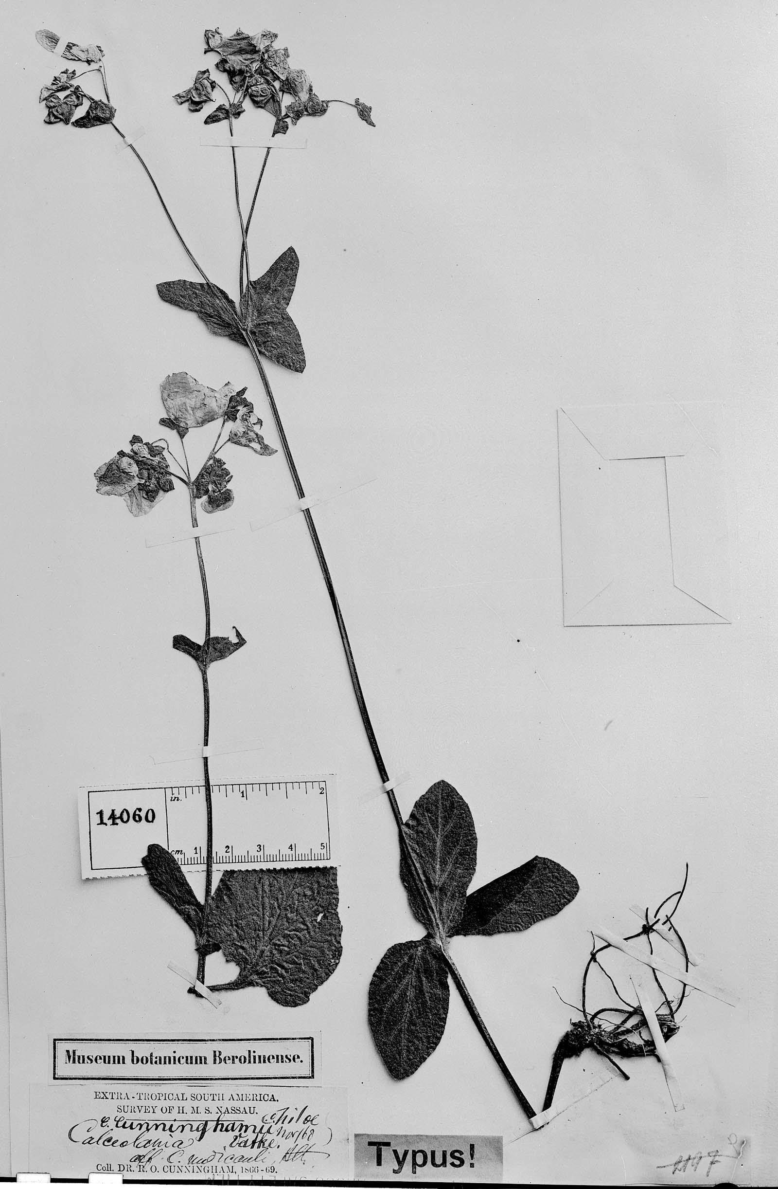 Calceolaria crenatiflora image