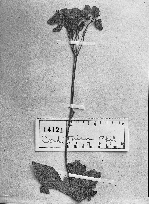 Calceolaria pratensis image