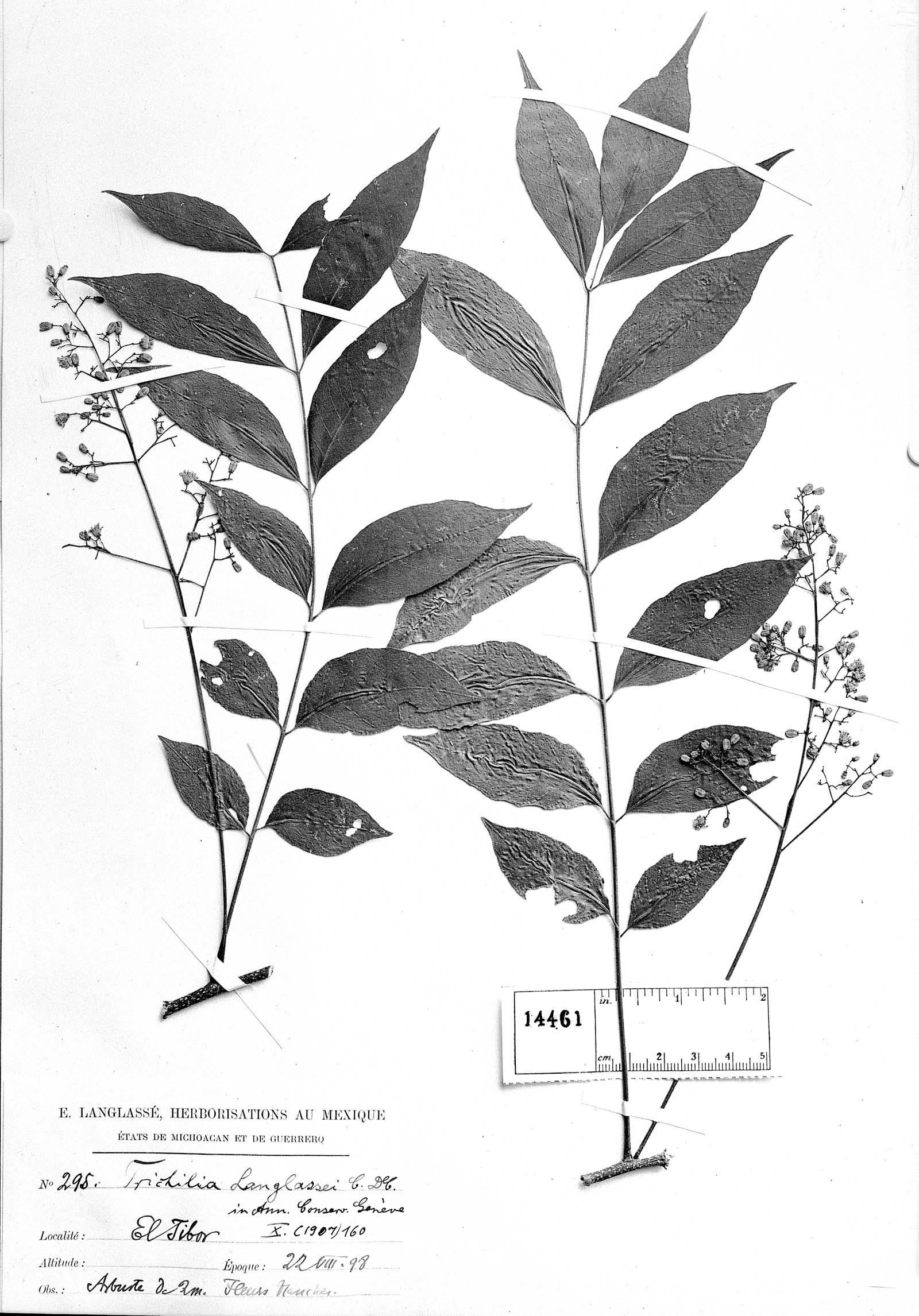 Trichilia americana image