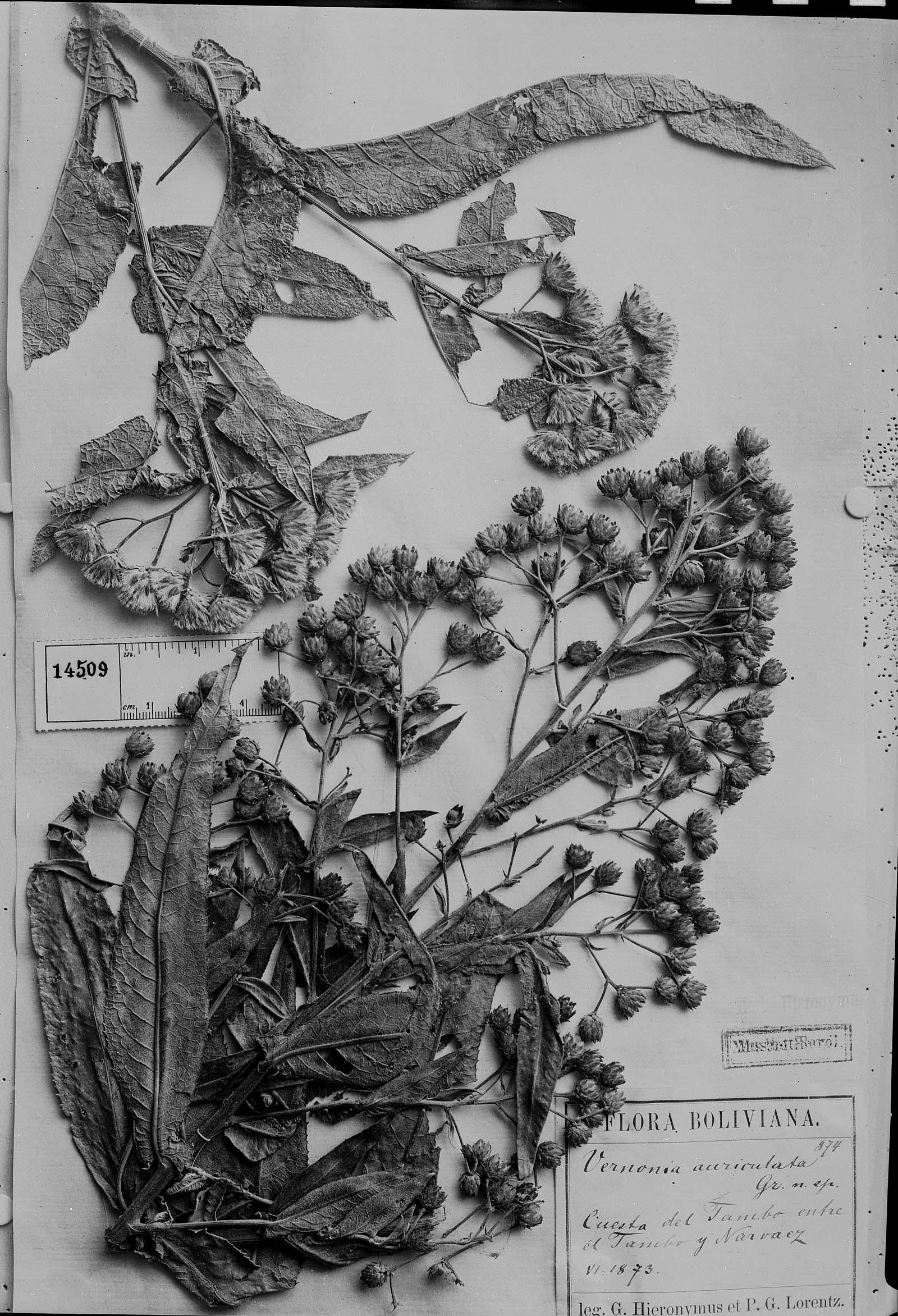 Vernonanthura auriculata image