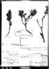 Diplostephium tacorense image