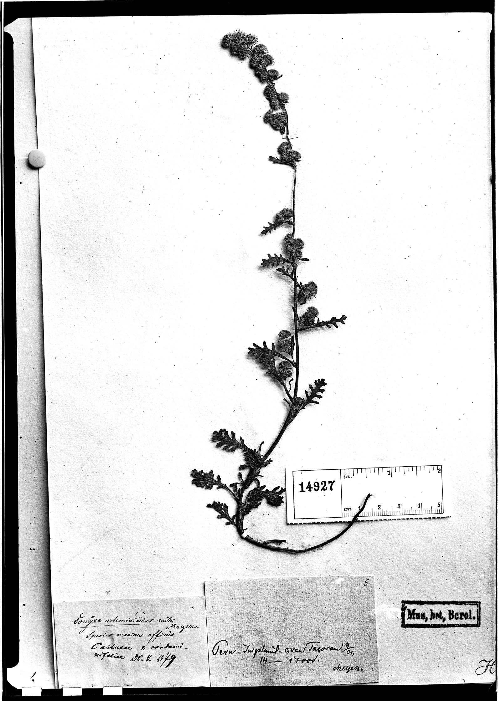 Conyza artemisiifolia image