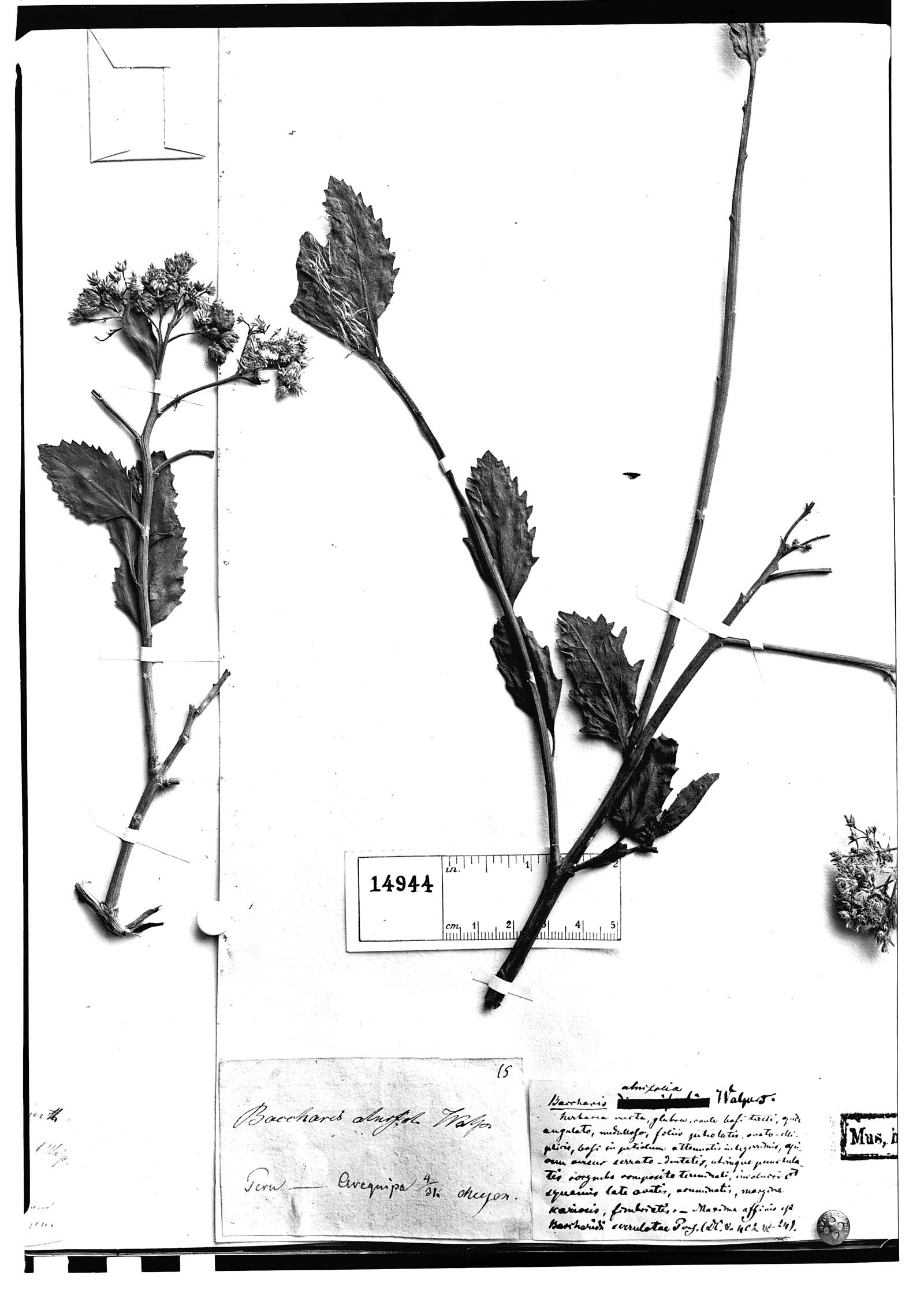 Baccharis alnifolia image