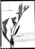 Baccharis lanceolata image