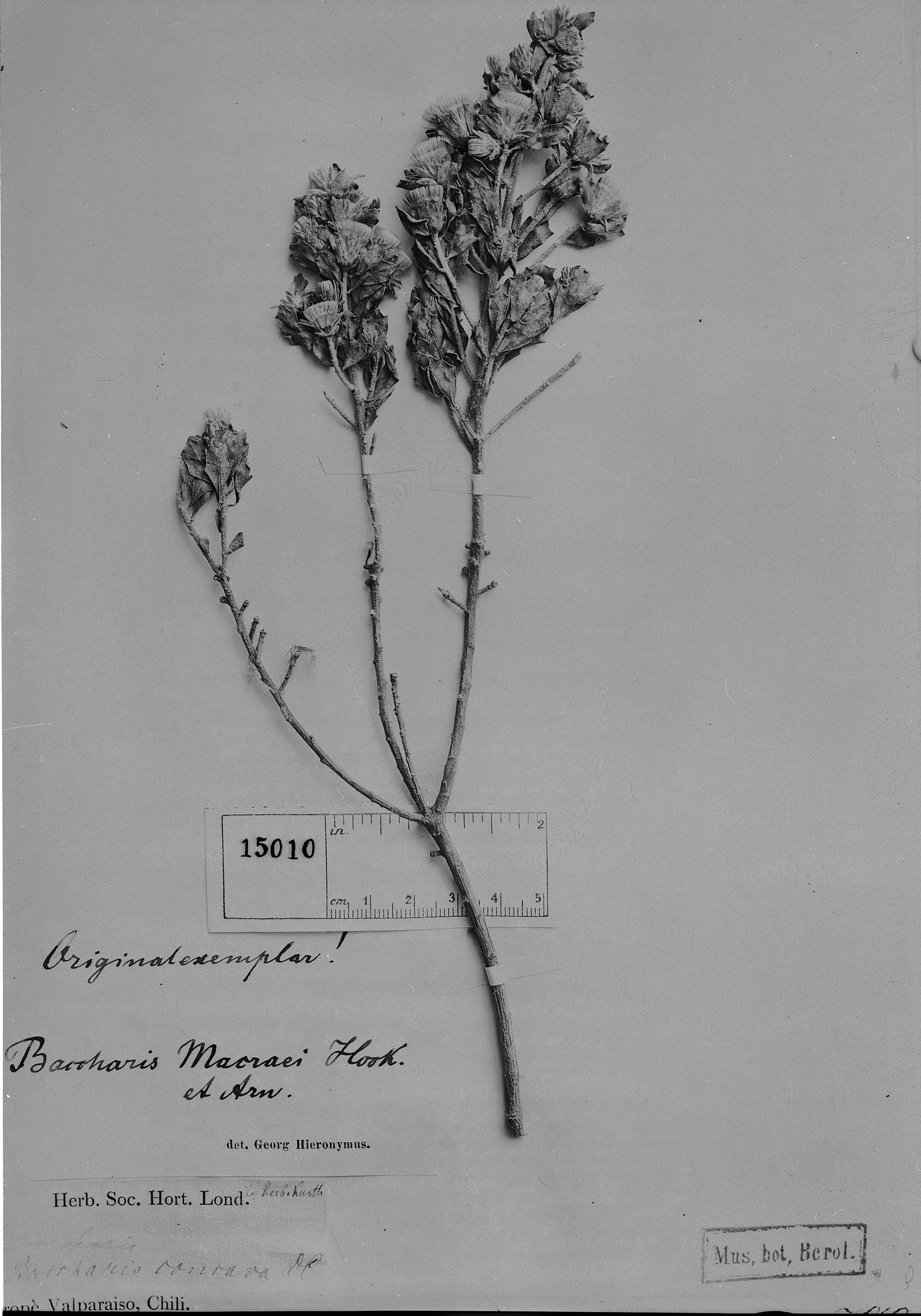 Baccharis macraei image