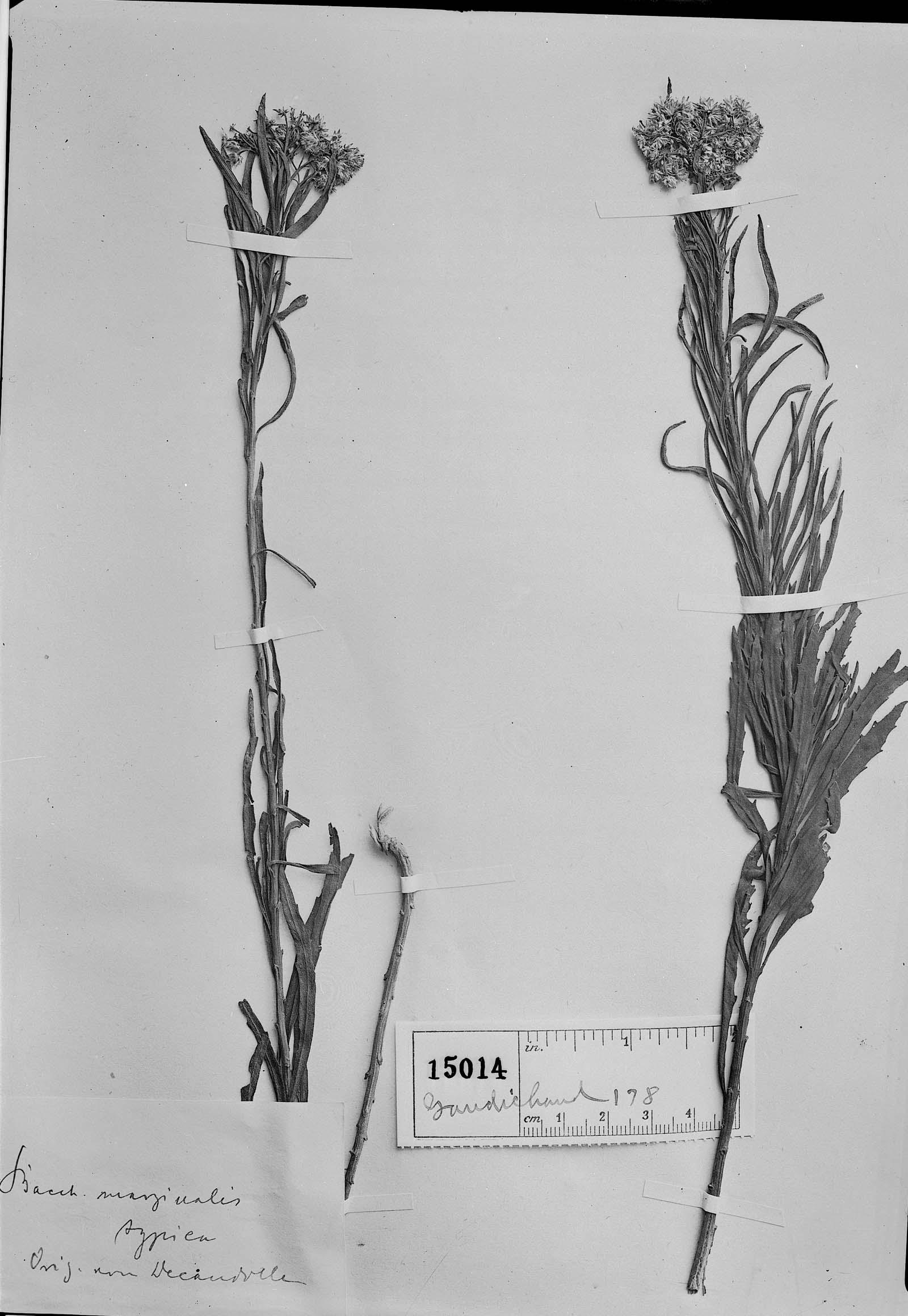Baccharis marginalis image