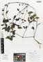 Flora of Ucayali, Peru: Blechum pyramidatum (Lam.) Urb., Peru, J. Schunke Vigo 15873, F