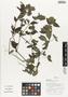 Flora of Ucayali, Peru: Blechum pyramidatum (Lam.) Urb., Peru, J. Schunke Vigo 15775, F