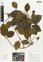 Flora of Ucayali, Peru: Mendoncia aspera Ruíz & Pav., Peru, J. Schunke Vigo 16168, F