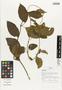 Flora of Ucayali, Peru: Mendoncia aspera Ruíz & Pav., Peru, J. Schunke Vigo 15743, F