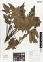 Flora of Ucayali, Peru: Spondias mombin L., Peru, J. G. Graham 2499, F